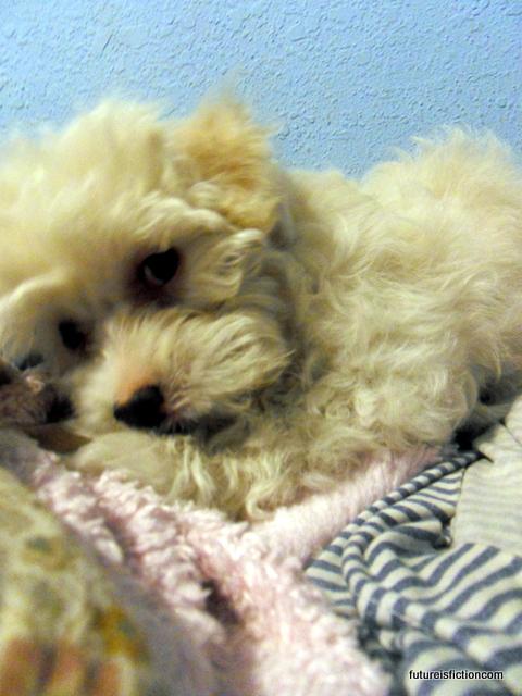 11 week old Maltese puppy